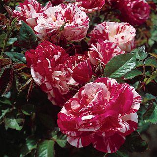 Роза Мерлин 2