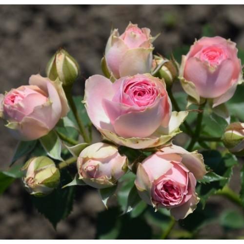 Роза Мими Эден 1