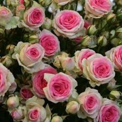 Роза Мими Эден 2