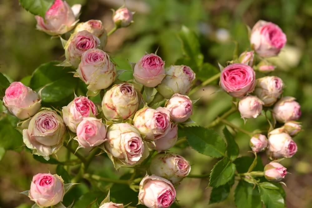 Роза Мими Эден 3