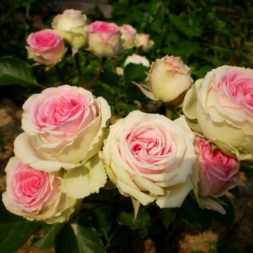 Роза Мими Эден 4