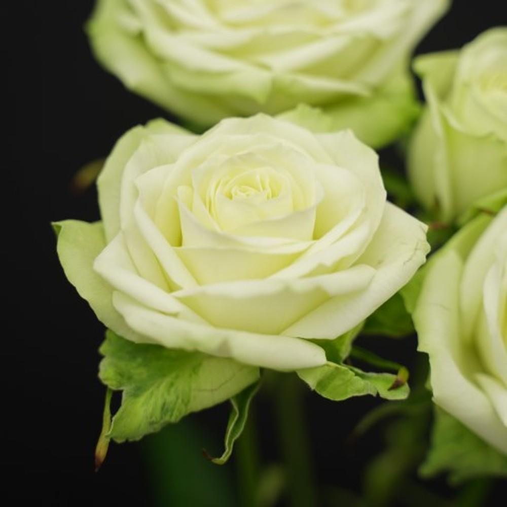 Роза Минт Теа 2
