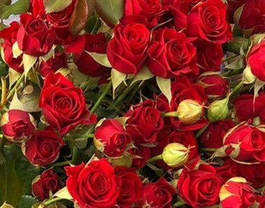 Роза Мирабель 1