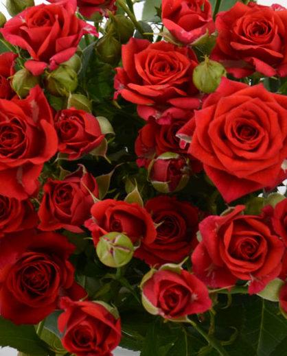 Роза Мирабель 2