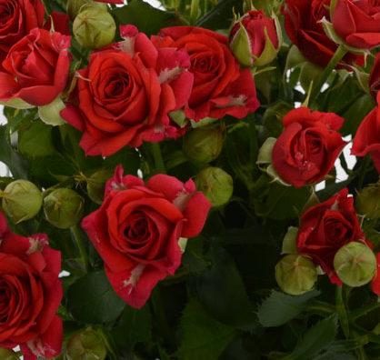 Роза Мирабель 3