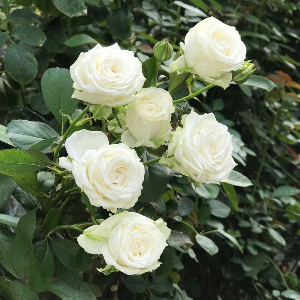 Роза Мисс Бомбастик 2