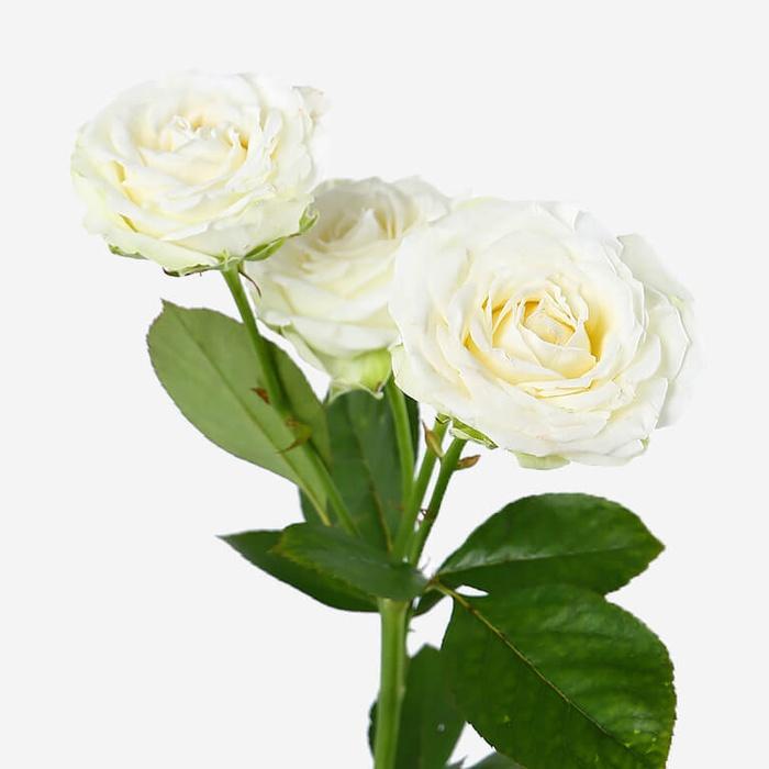 Роза Мисс Бомбастик 3