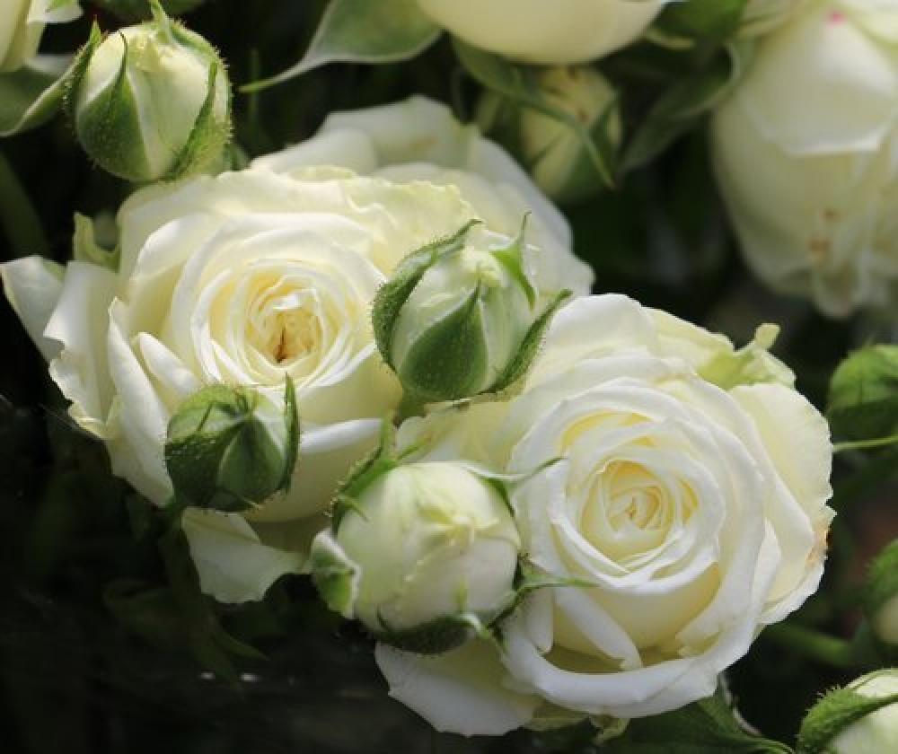 Роза Мисс Бомбастик 4