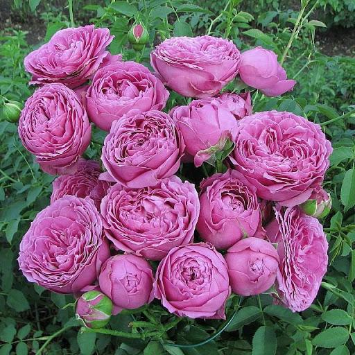 Роза Мисти Баблс 1