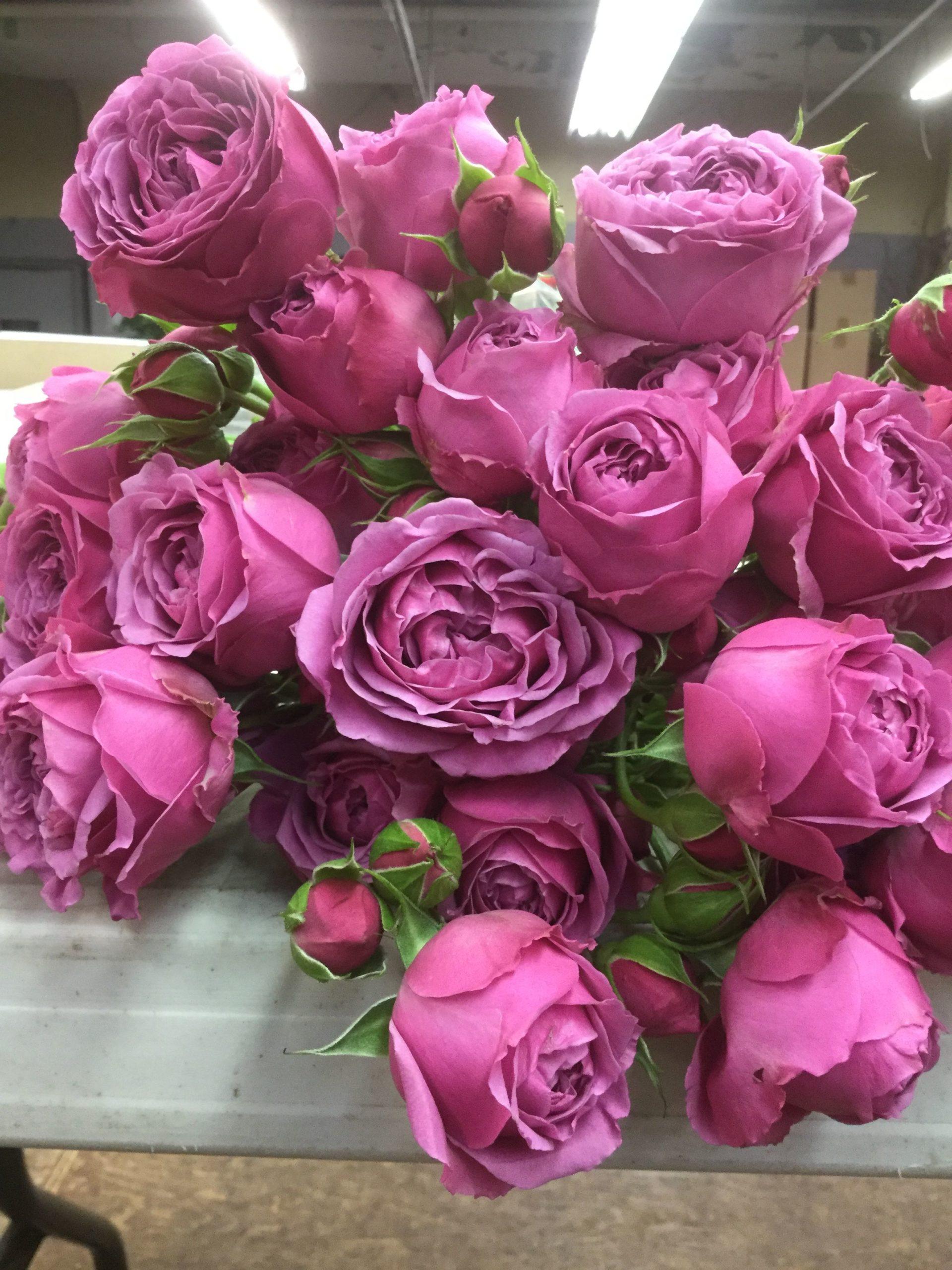 Роза Мисти Баблс изображение 2