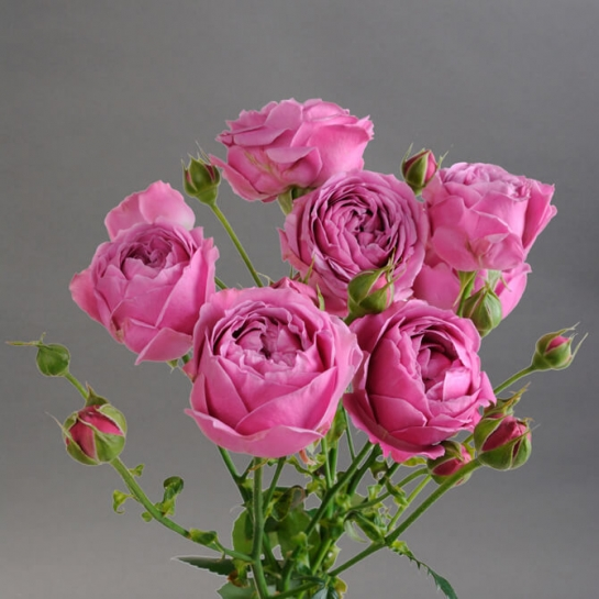 Роза Мисти Баблс изображение 3