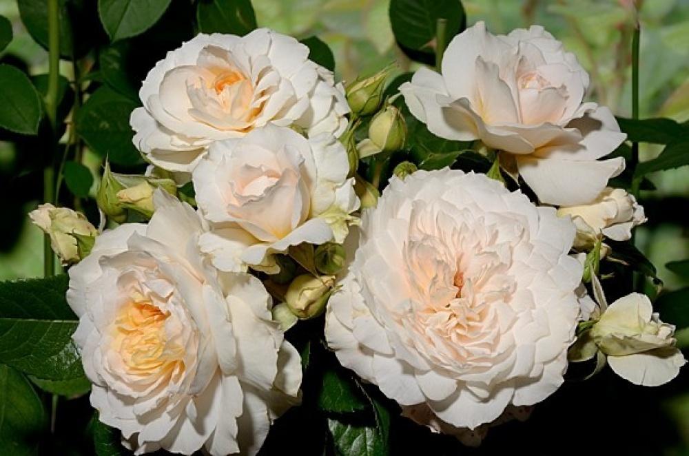 Роза Надин Кселла-Риччи 3