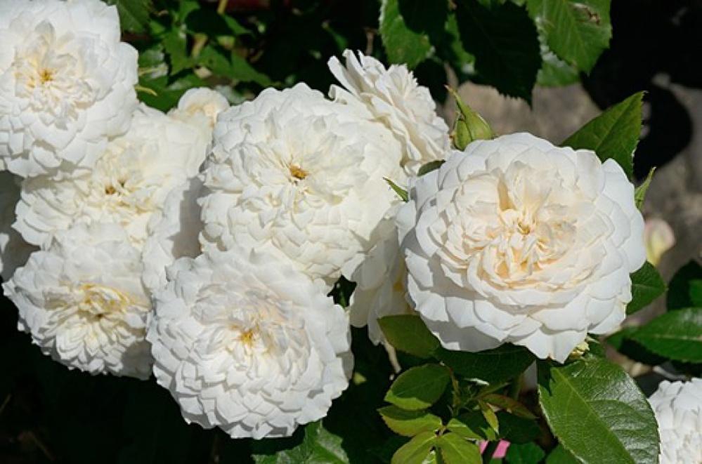 Роза Надин Кселла-Риччи 4