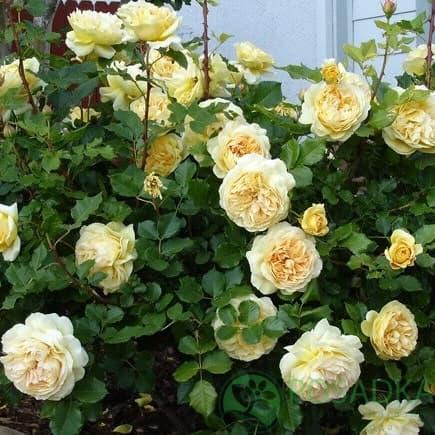 Роза Нельсон Монфор 1
