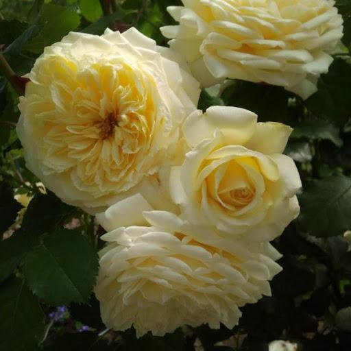 Роза Нельсон Монфор 2