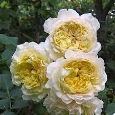 Роза Нельсон Монфор 3