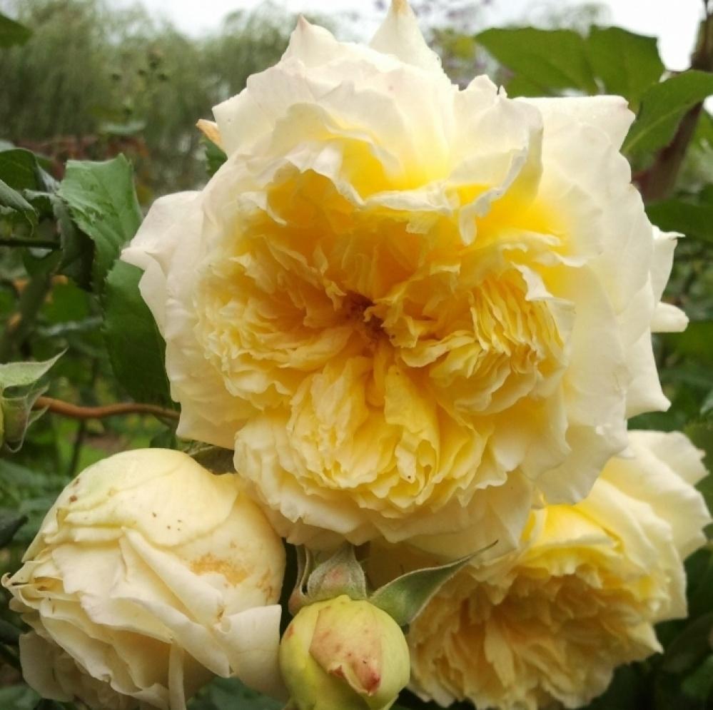 Роза Нельсон Монфор 4