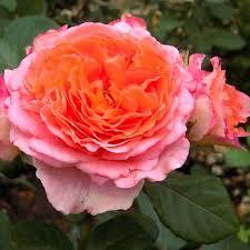Роза Нотр Дам Дю Розэр 1