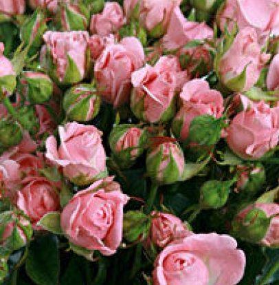 Роза Одилия 3