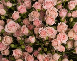 Роза Одилия