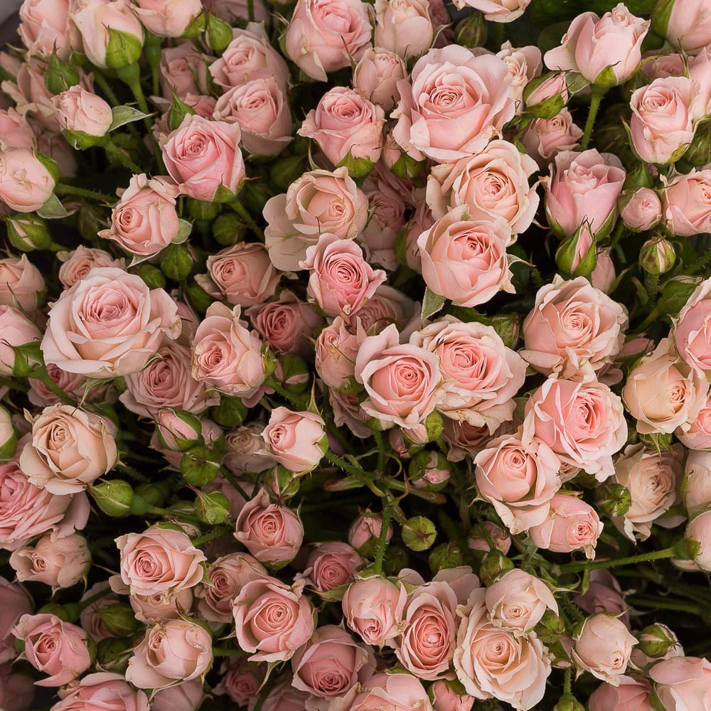 Роза Одилия 1