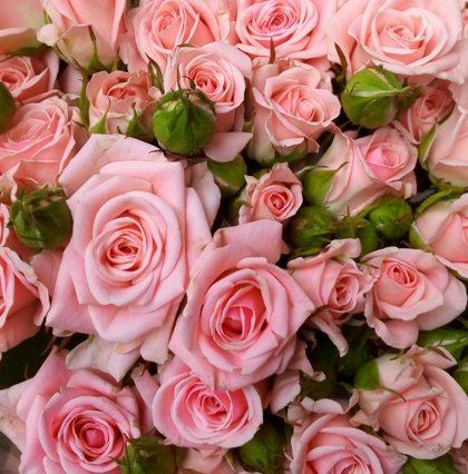 Роза Одилия 2