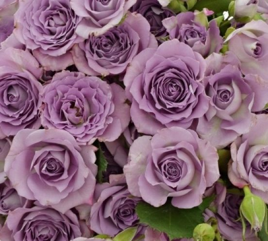 Роза Оушен Микадо 4