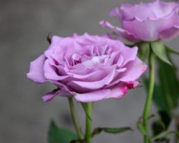 Роза Оушен Микадо