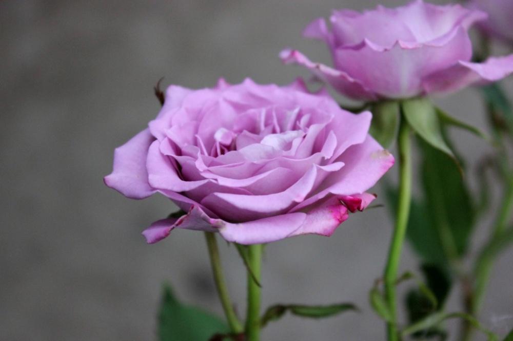 Роза Оушен Микадо 1