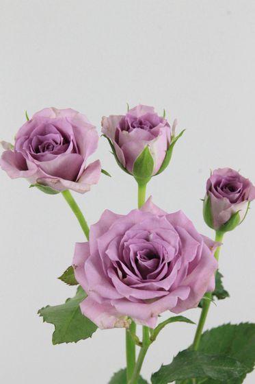 Роза Оушен Микадо 2