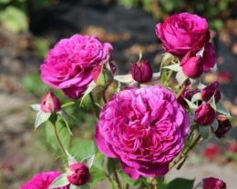 Роза Пале Бирон