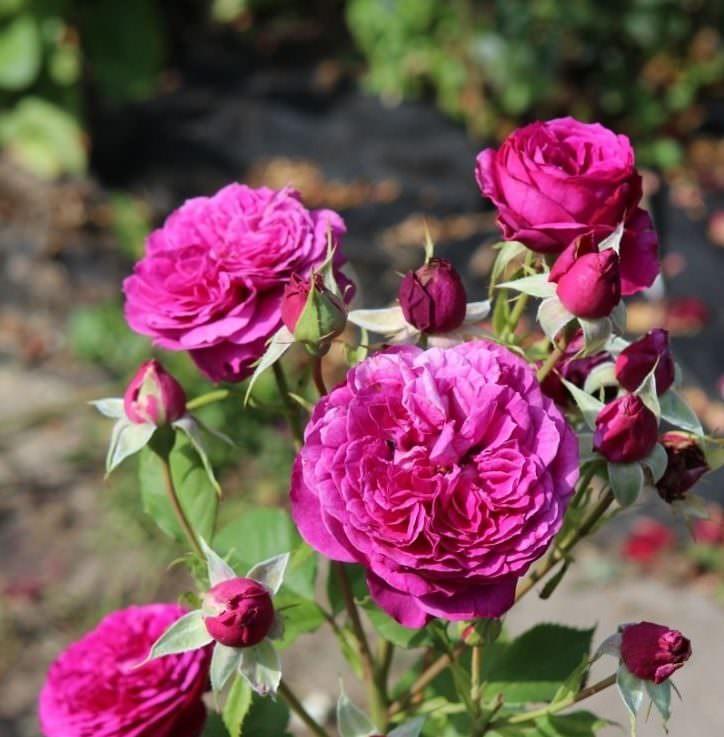 Роза Пале Бирон 1