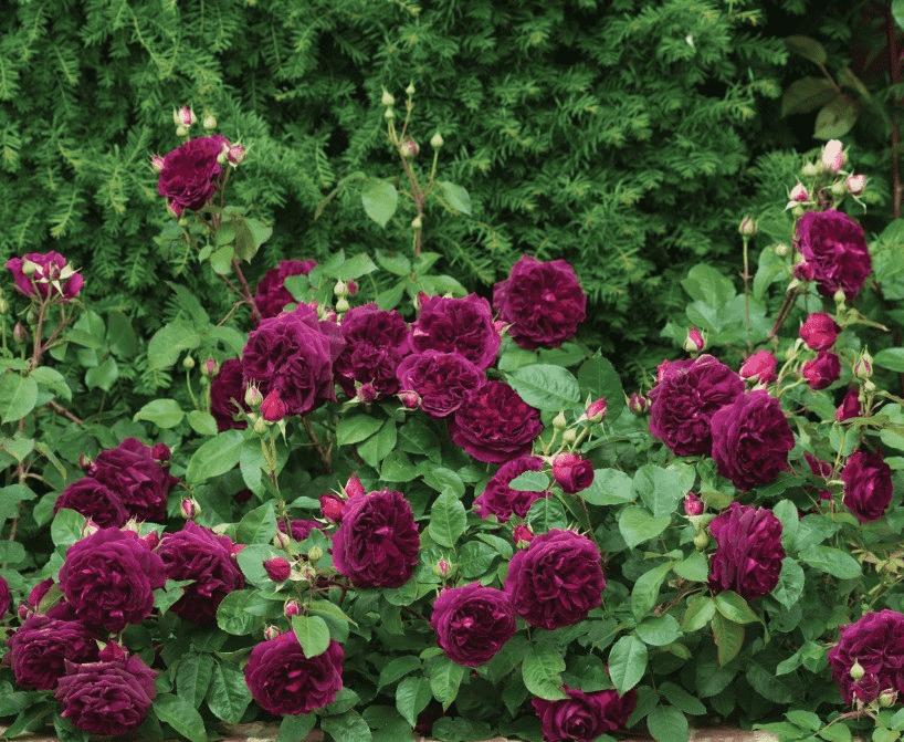 Роза Пале Бирон 2