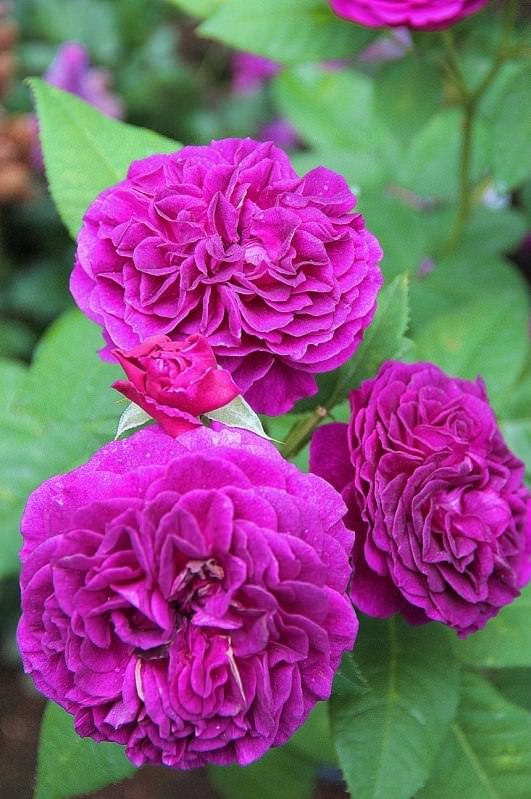 Роза Пале Бирон 3