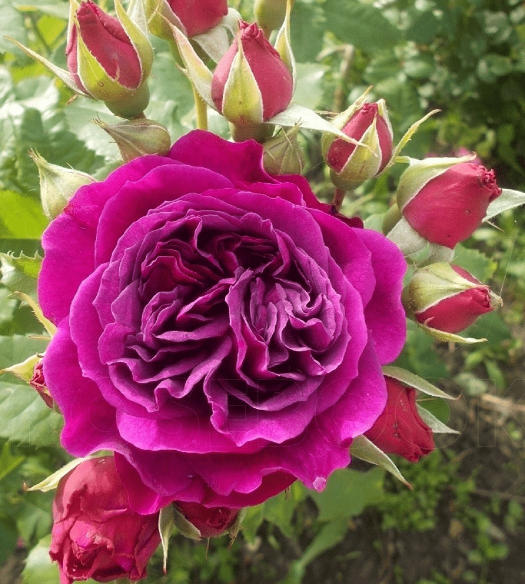 Роза Пале Бирон 4