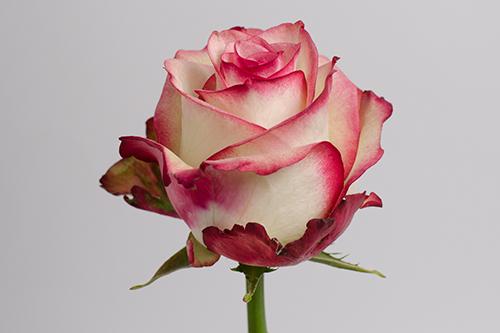 Роза Палома 1