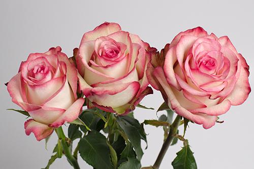 Роза Палома 2