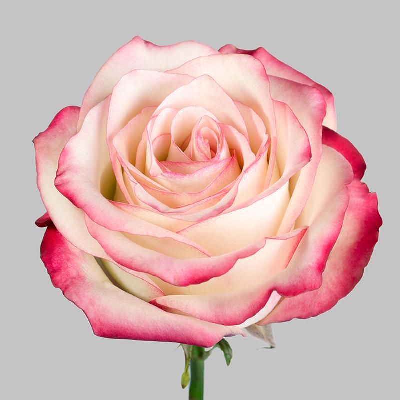 Роза Палома 3