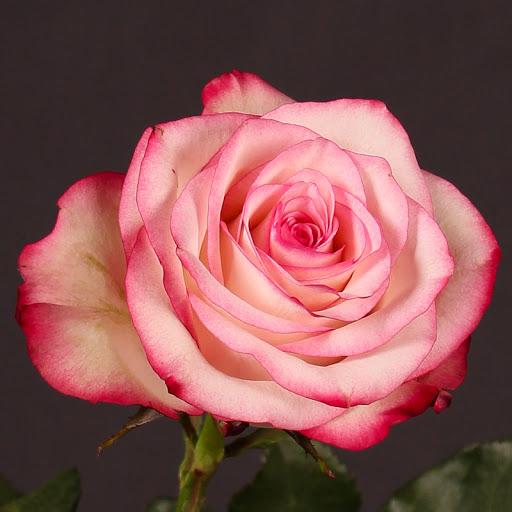 Роза Палома 4