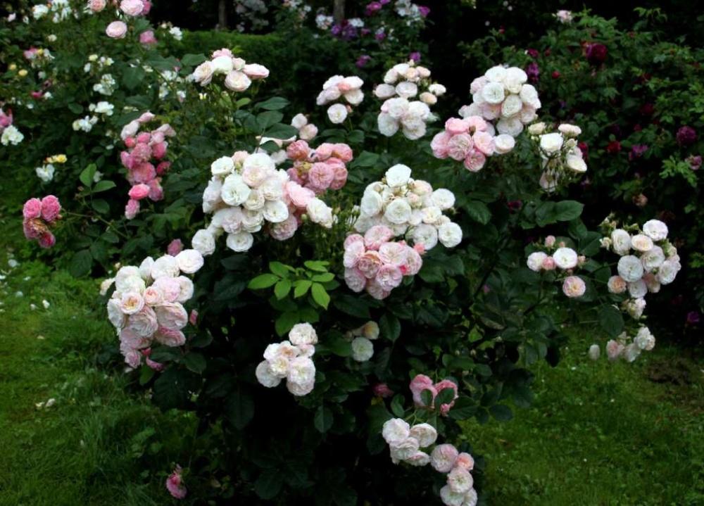 Роза Букет Парфе 1