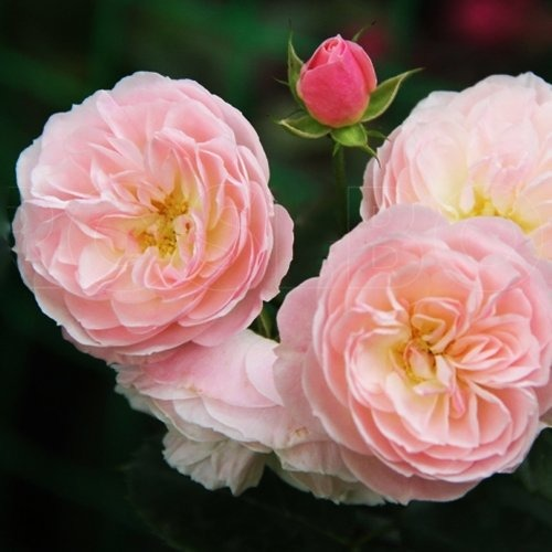 Роза Букет Парфе 2