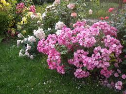 Роза Букет Парфе 3