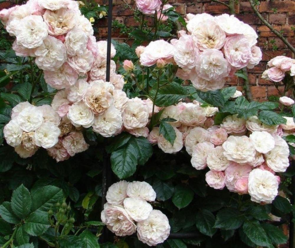 Роза Букет Парфе 4