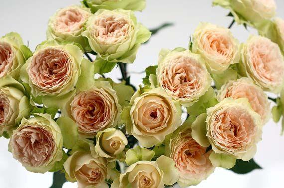Роза Павлова 3