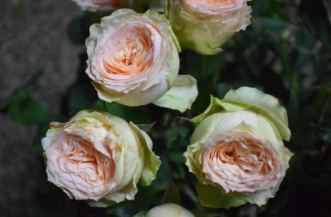 Роза Павлова 2