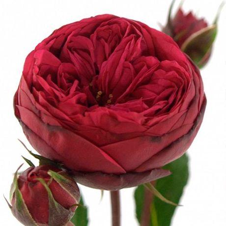 Роза Пиано Фрейланд изображение 1