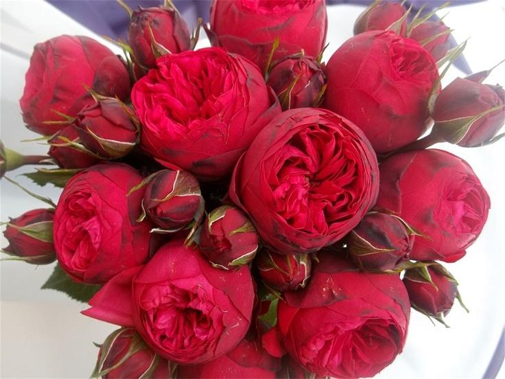 Роза Пиано Фрейланд изображение 3