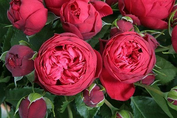 Роза Пиано Фрейланд 2
