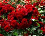 Роза Пиано Фрейланд