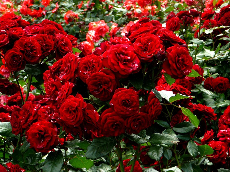 Роза Пиано Фрейланд 1